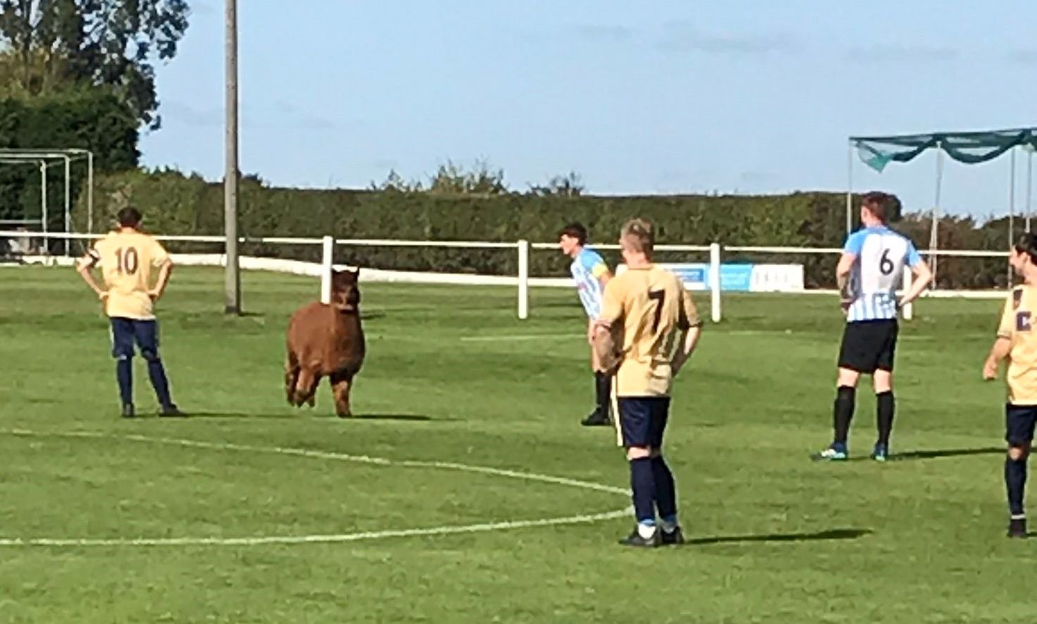 Alpaca invades pitch during Ilkley Town match